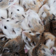 Royalty-Free Stock Photo: Small hamsters