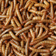 Many  larvae — Stock Photo