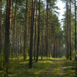 Coniferous wood landscape — Stock Photo