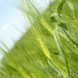 Macro rye on the rye field — Stock Photo