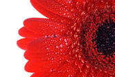 Röd gerbera närbild — Stockfoto