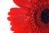红色非洲菊关门 — 图库照片