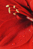 Flor de Amarílis — Fotografia Stock