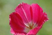 Tulipa vermelha — Fotografia Stock