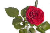 Red rose macro — Stock Photo