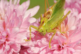 Grasshopper on the flower — Stock Photo