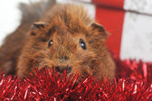 Cute guinea pig — Stock Photo