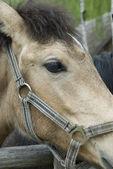 Cabeza de caballo de cerca — Foto de Stock