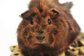 Brown guinea pig — Stock Photo