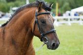 Brun häst utomhus — Stockfoto