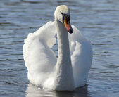 Swan swimming — Stock Photo