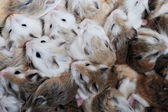 Small hamsters — Stock Photo