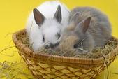 Small rabbits in basket — Stockfoto