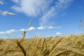 The rye field — Stock Photo