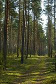Coniferous wood landscape — Stock Photo
