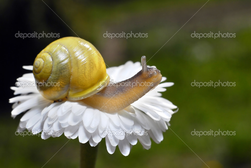 Small snail on white flower — ストック写真 #2650245