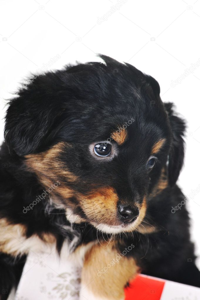 Black puppy and gift box  isolated — Stock Photo #2651697
