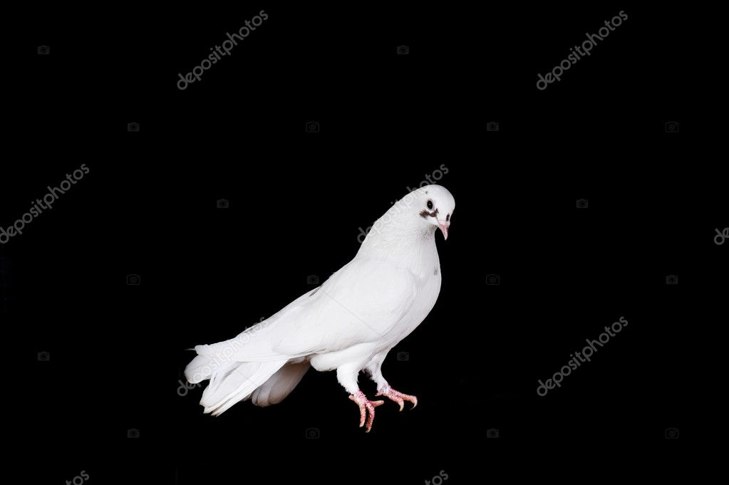 White pigeon sit on  wooden crossbeam close up — Stock Photo #2651988