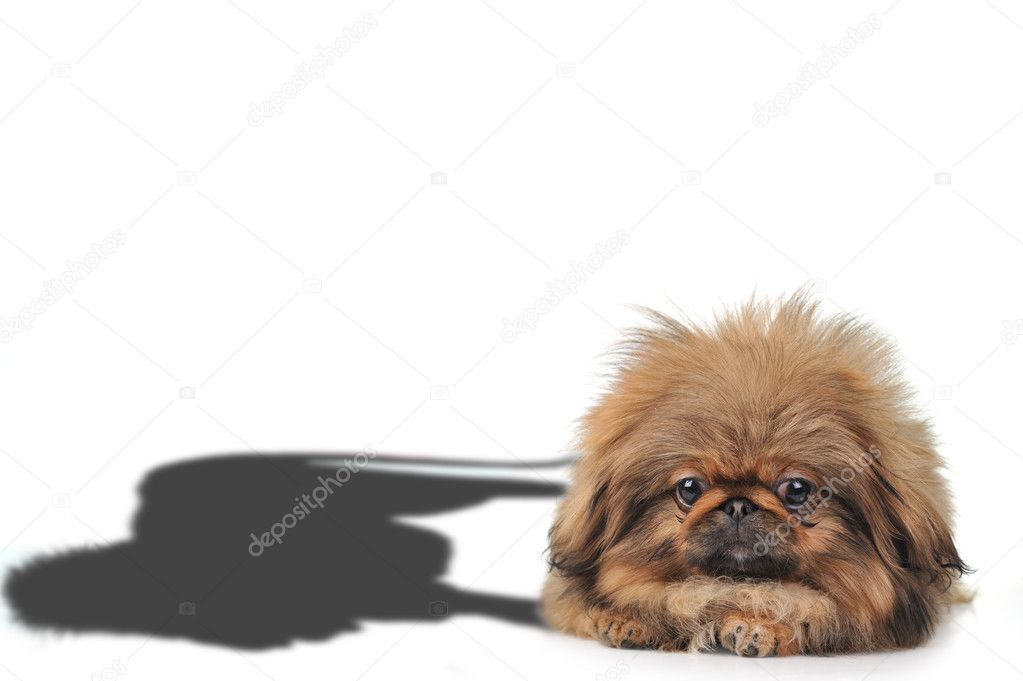 Cute small puppy with lion shadow close up  — Stock Photo #2651997