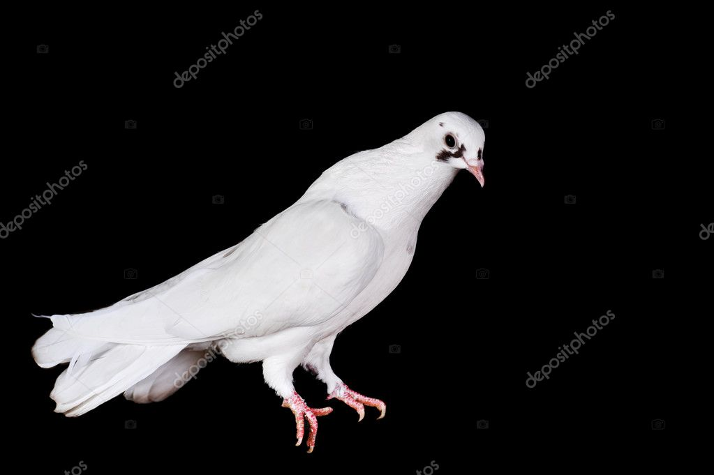 White pigeon sit on  wooden crossbeam close up — Stock Photo #2652004