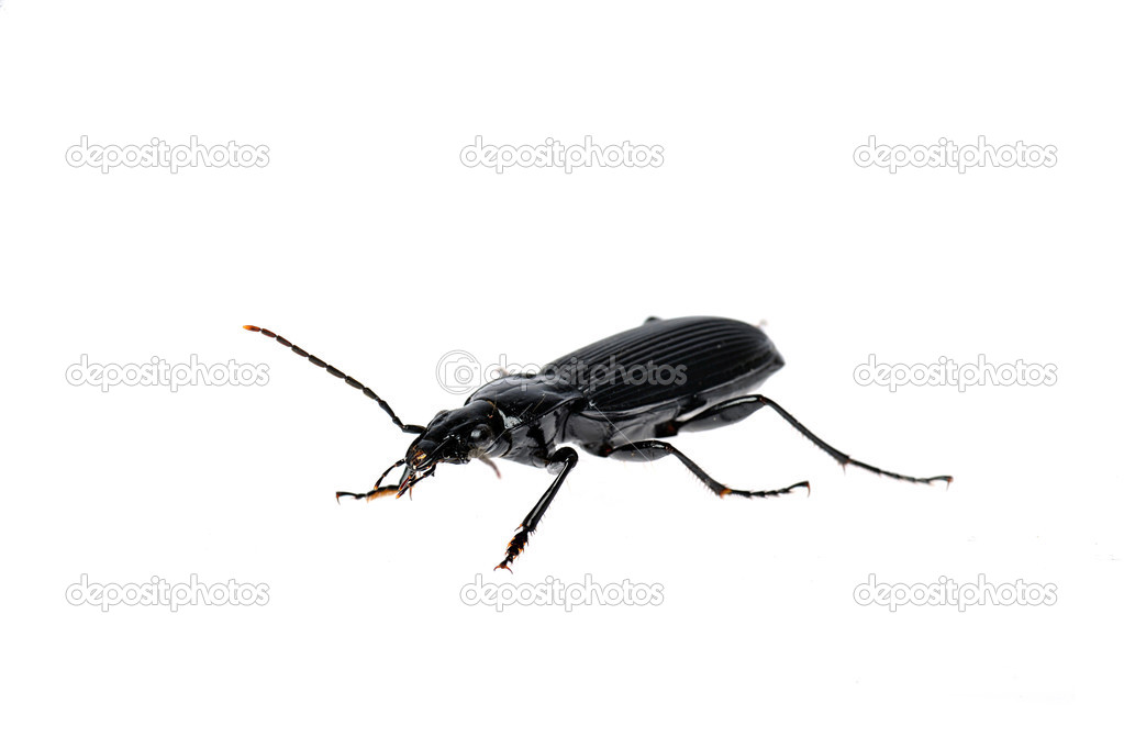 Black beetle very close up on white  Stock Photo #2652023