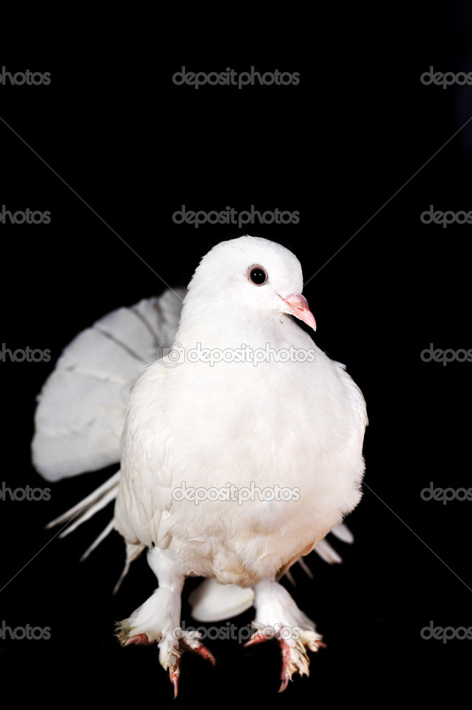 White pigeon sit on  wooden crossbeam close up  Foto de Stock   #2652040