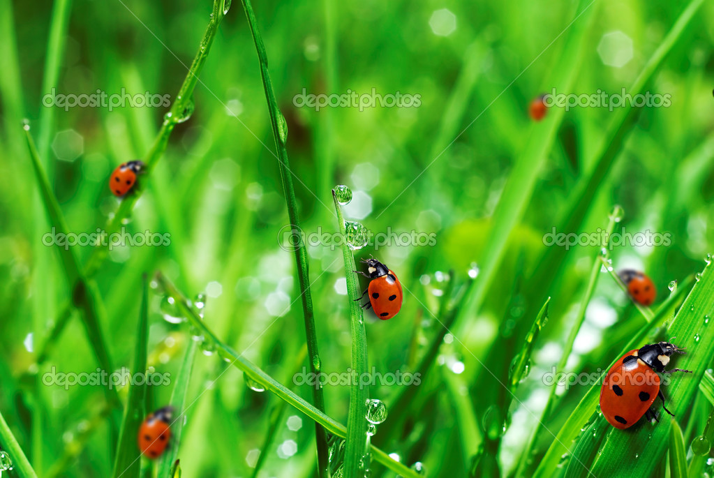 Fresh green grass with water drops and ladybugs close up — Stock Photo #2652138