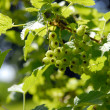 Stock Photo: Green currant