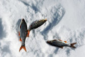 Perch on snow — Stock Photo