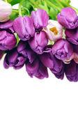 Tulips — Stock Photo