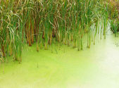 Swamp water and reeds — Stock Photo