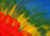 Feathers macaw parrot — Stock Photo