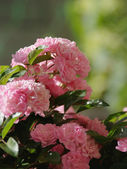 Climbing roses — Stock Photo