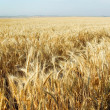 Постер, плакат: Field of gold wheat