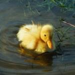 Little cute duckling — Stock Photo
