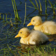 Cute duckling — Stock Photo #2664288