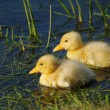 Cute duckling - Stock Photo