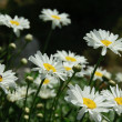 Camomile background — Stock Photo