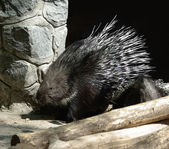 Porcupine in zoo — Stock Photo