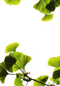 Ginkgo biloba leaves — Stock Photo
