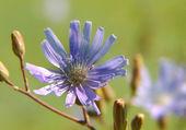 Flower of chicory — Stock Photo