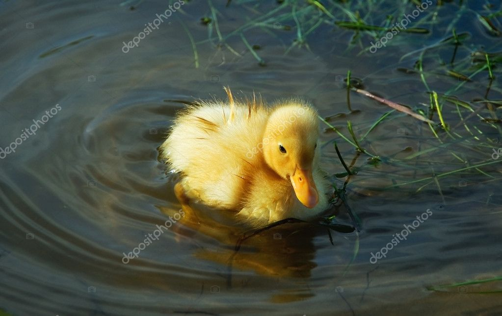 Little cute duckling swimming in the lake — Stock Photo #2664258