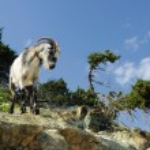 Постер, плакат: Wild goat on a cliff