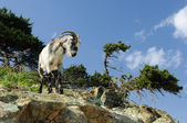 Wild goat on a cliff — Stock Photo