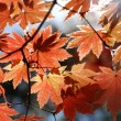 Red maple, autumn — Stock Photo #2569939