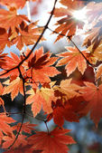 Red maple, autumn — Stock Photo