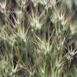 Spikelets close-up - Stock Photo