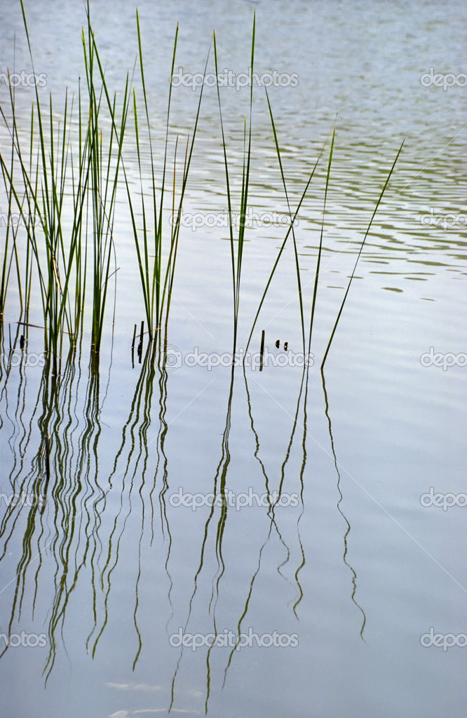 Sedge reflecting in vacillating water. — Stock Photo #2677830