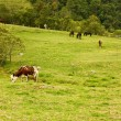 Cow in Cocora Valley — Stock Photo