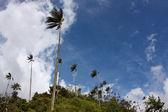 The wax palm — Stock Photo